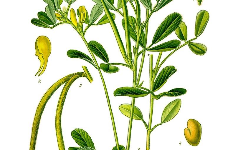 Fenugreek seed (Trigonella foenum-graecum)