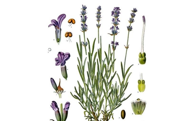 Lavandula angustifolia [Lavender]