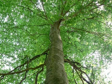 Virtual Tree Spirit Medicine (Beech) Dec 12, 2020