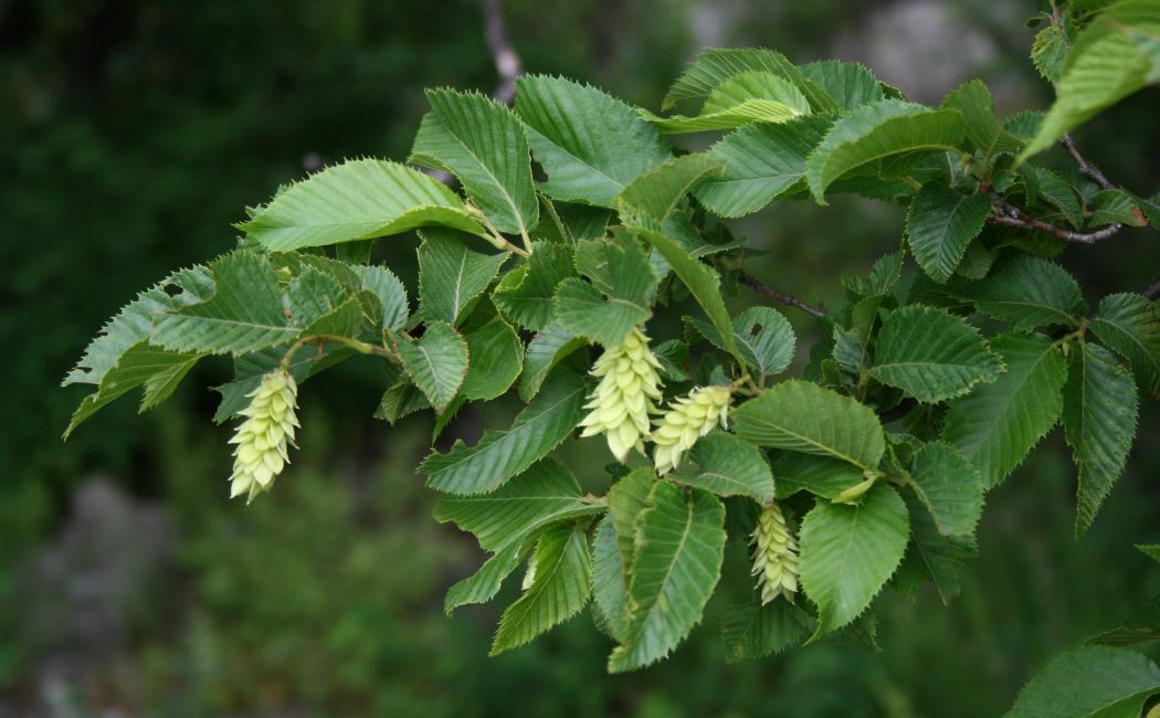 Virtual Tree Spirit Medicine – Hop Hornbeam (Ironwood): April 10, 2021